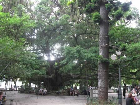 Figueira da Praça XV