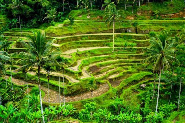 plantacao de arroz na indonesia