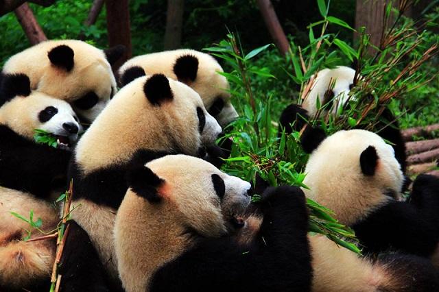 reserva de pandas
