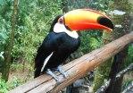 tucano parque das aves
