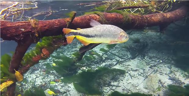 peixe rio sucuri