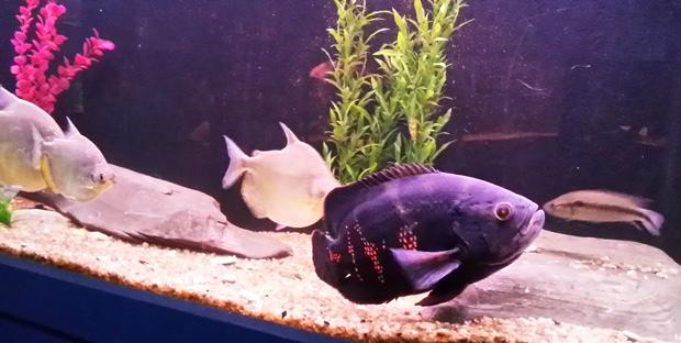 peixe cara-acu