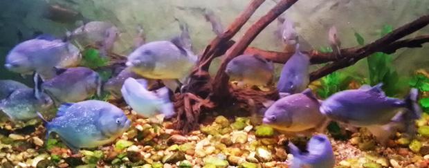 piranha em bonito