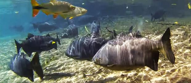 peixes do rio da prata
