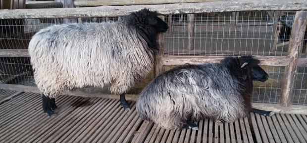 ovelhas do sul